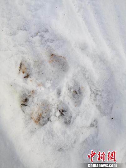 雪地上留下清晰的东北虎足迹。上营森林经营局供图
